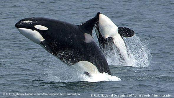 Springender Orca-Wal (Foto: U.S. National Oceanic and Atmospheric Administration)