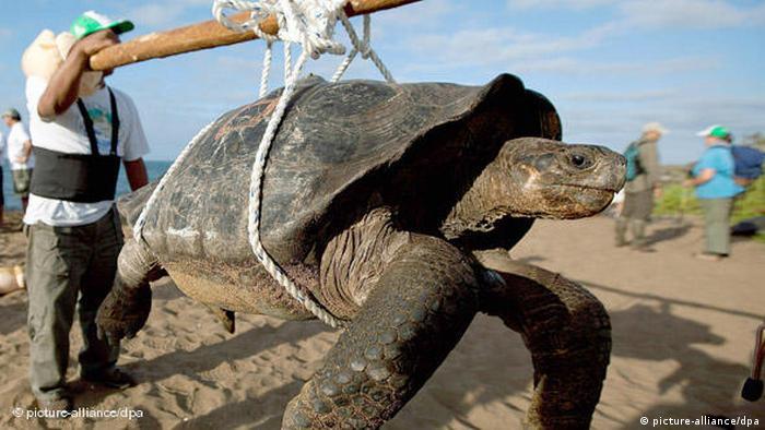 """Con la muerte del """"Solitario George"""", una tortuga gigante de la isla Pinta de las Galápagos, desapareció el 2012 el último ejemplar de su especie. Ecuador es el país sudamericano con mayor cantidad de vertebrados en peligro crítico de extinción (340), seguido por Brasil (154) y Colombia (132), según la Unión Internacional para la Conservación de la Naturaleza (IUCN)."""