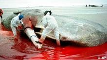 Standing in pool of blood, scientists remove for examination the lower jaw of one of three sperm whales that were stranded and died near the shore of the North Sea at St. Peter-Ording in northern Germany Saturday, Jan. 24, 1998. More than 20 sperm whales have died along the North Sea coast in recent weeks. Biologists say the young whales apparently get lost on their way from Arctic waters and swim east of Scotland instead of west.