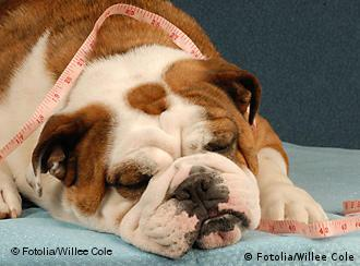 dog obesity or health - lazy bulldog with measuring tape draped across her body Willee Cole - Fotolia 04.2009