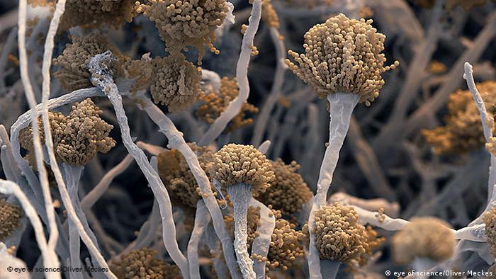 Ein Aspergillus Pilz in starker Vergrößerung. (Foto: eye of science/Oliver Meckes)