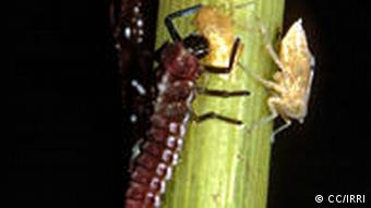 Insects feeding on small planthoppers