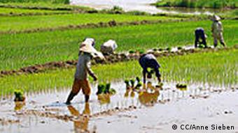 Farmers in rice paddies