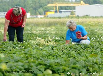 Oszuści żerują też na pracownikach sezonowych - foto: dw-world.de