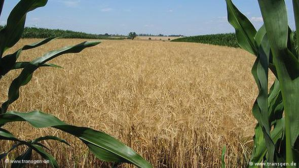 field of genetically modified barley