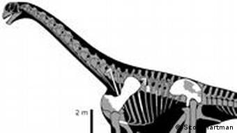 An illustration shows a seated man compared to the skeleton of a Brontomerus