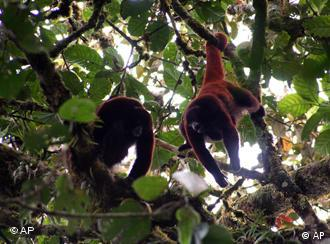 In this photo released by the Neotropical Primate Conservation NGO, two Yellow-tailed Woolly monkeys look for food at a tree top in the Peruvian Amazon rainforest, Thursday, July 24, 2008. The yellow-tailed Woolly monkey, or Oreonax Flavicauda, is in danger of extinction,with an estimated number of only 250 individuals nowadays, according to the International Union for Conservation of Nature. (AP Photo/Neotropical Primate Conservation, Noga Shanee) ** NO SALES **