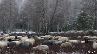 A herd of German heath sheep grazing in the Bombodrom area