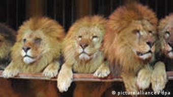 Three lions in the circus
