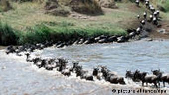 A herd of wildebeest cross a river in the Serengeti park