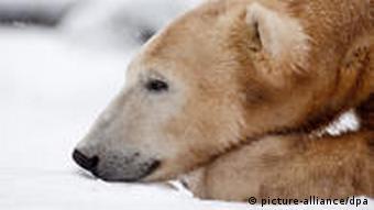 Медведь Кнут в возрасте трех лет