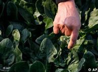 Folhas largas do espinafre são mais suscetíveis a partículas radioativas