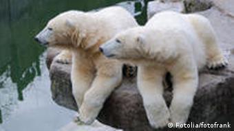 Polar bears sitting on a rock