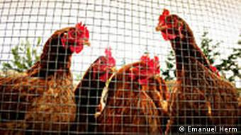 Chickens behind a wire fence