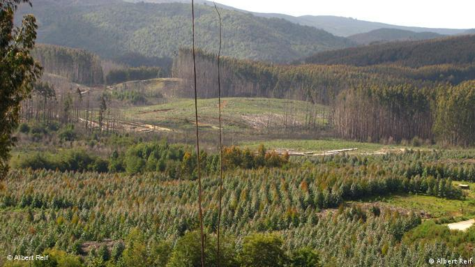 Eucalyptus plantation in Chile