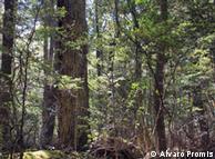 El profesor Álvaro Promis investiga el bosque nativo de Nothofagus betuloides, normalmente conocido como coihue de Magallanes.