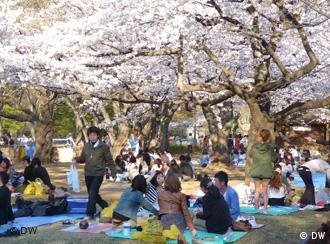 Eating picnics under a tree is traditional during sakura season