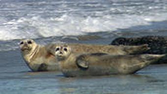 Robben ruhen an einem Strand in Helgoland aus (Foto: DW)