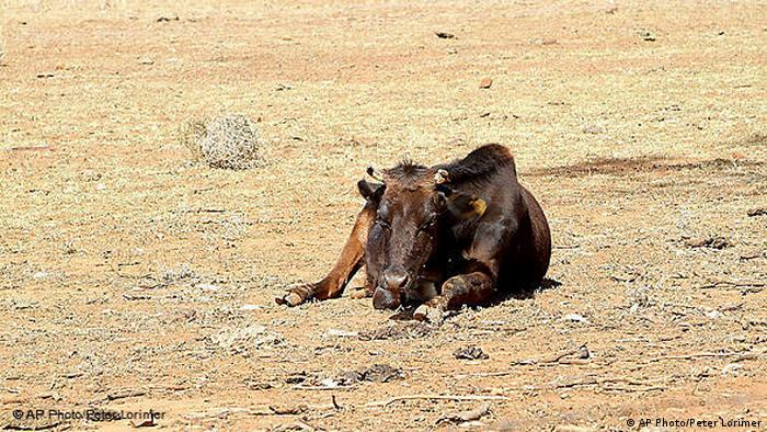 A cow lies exhausted in the parched earth (AP Photo/Peter Lorimer)