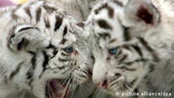 Two white tigers face to face