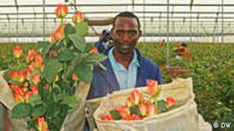Kenia Rosen Fair Trade Rosen Blumenfarm Arbeiter
