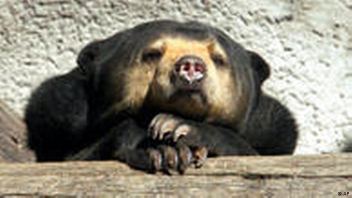Sun Bear Bär Malaysia Frankfurt Zoo (AP)
