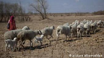 Sheep in a degraded landscape
