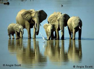 Aprobación del comercio de inventarios de marfil, pone en peligro a los elefantes.