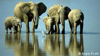 Elephants crossing Zambezi BG Wildlife Photographer of the Year Competition
