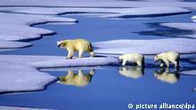 ARCHIV - Eine Eisbärenmutter marschiert mit ihren beiden Jungen auf Futtersuche über Eisschollen im Gebiet der Nordwest-Passage in Kanada (undatierte Aufnahme). Vom Klimawandel besonders bedrohte Tierarten mit großem Wanderradius wie Wale und Eisbären sollen besser geschützt werden. Darauf einigten sich am Freitag mehr als 80 Unterzeichnerstaaten der «Bonner Konvention zur Erhaltung wandernder Arten» (CMS) bei einer Konferenz im norwegischen Bergen. Foto: Hinrich Bäsemann +++(c) dpa - Bildfunk+++
