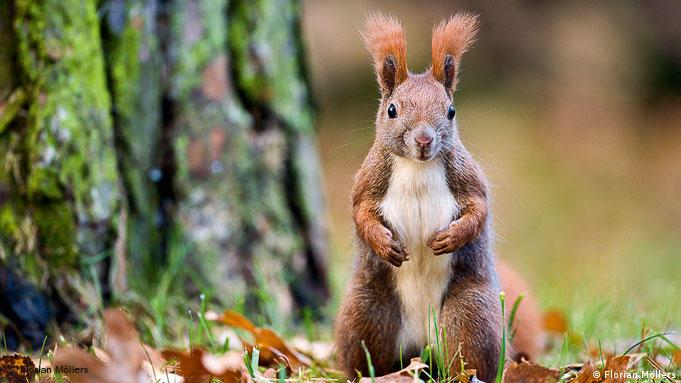 Photo: A red squirrel in front of a tree. Source: Florian Moellers