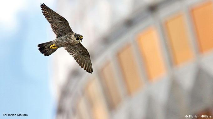 Falcon flying in front of Berlin's TV tower