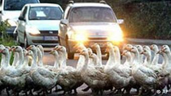 Farmer Adolf Kueppers stops car traffic in Duisburg Baerl, western Germany, to cross the street with his 200 geese, Thursday Dec 5, 2002