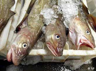 Limits on cod fish remain controversial in the EU