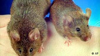 Genmanipulierter Maus und ein normaler Maus