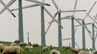Schafe weiden in der Nähe von Windrädern (Foto: AP)