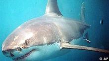 White pointer shark, photo