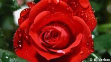 Rote Rose, Muttertag, Liebe, Symbolbild, Rose, Blume