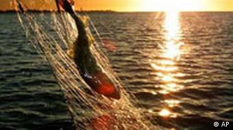 Dorsch Fischfang in der Ostsee