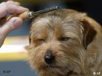 A dog gets its hair combed before being shown at the World Dog Fair
