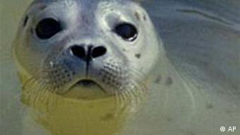 Robbe an der Nordsee