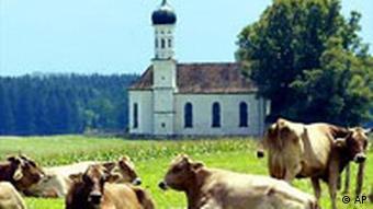 Kühe mit Kirche in Bayern