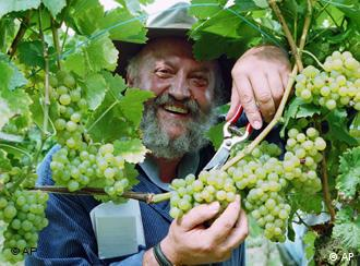 Photograph of wine maker Werner Weber harvesting grapes