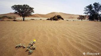 Blume in der Namib Wueste, Namibia.