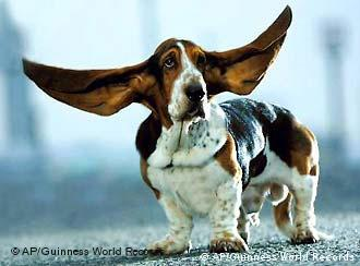 Basset-Hund mit fliegenden Ohren (Foto: AP Photo/Guinness World Records)