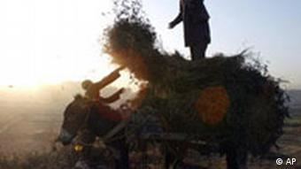 An Afghan farmer with his son load dried tomato plants onto a cart for use as firewood